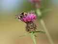Bee_on_a_thistle